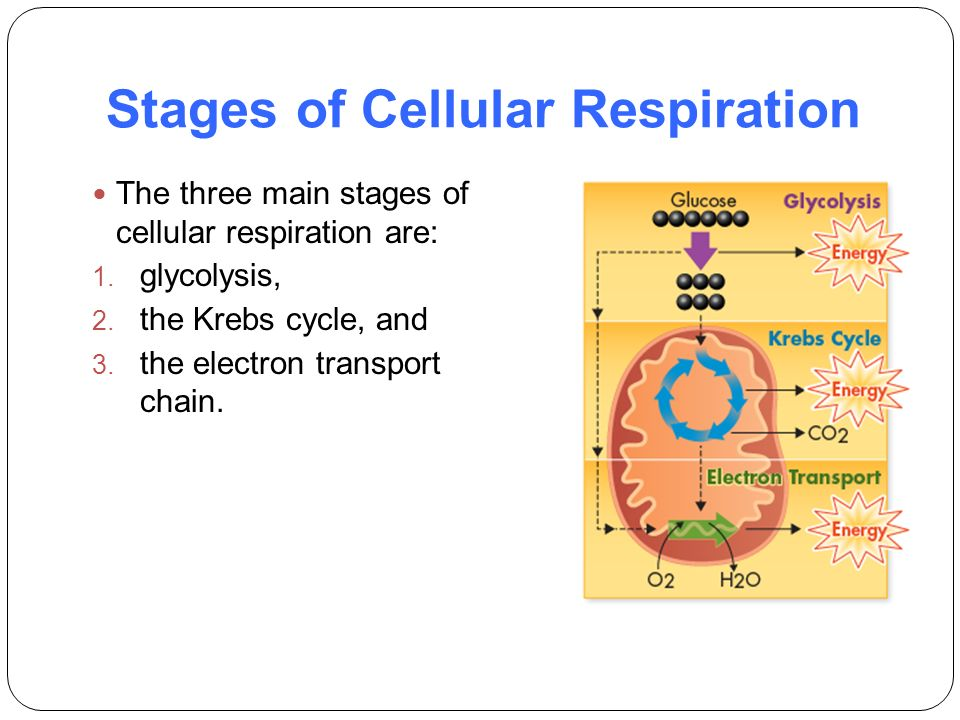 9 2 The Process Of Cellular Respiration Worksheet Answers 9 2 Cell