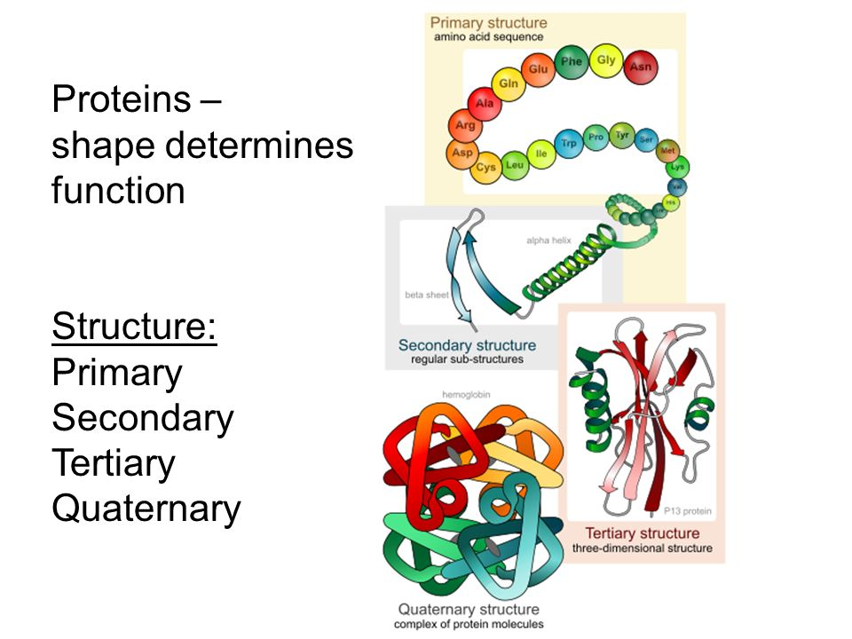 how primary structure determines protein function All properties of a protein are derived from the primary structure, the linear sequence how does protein structure determine function.