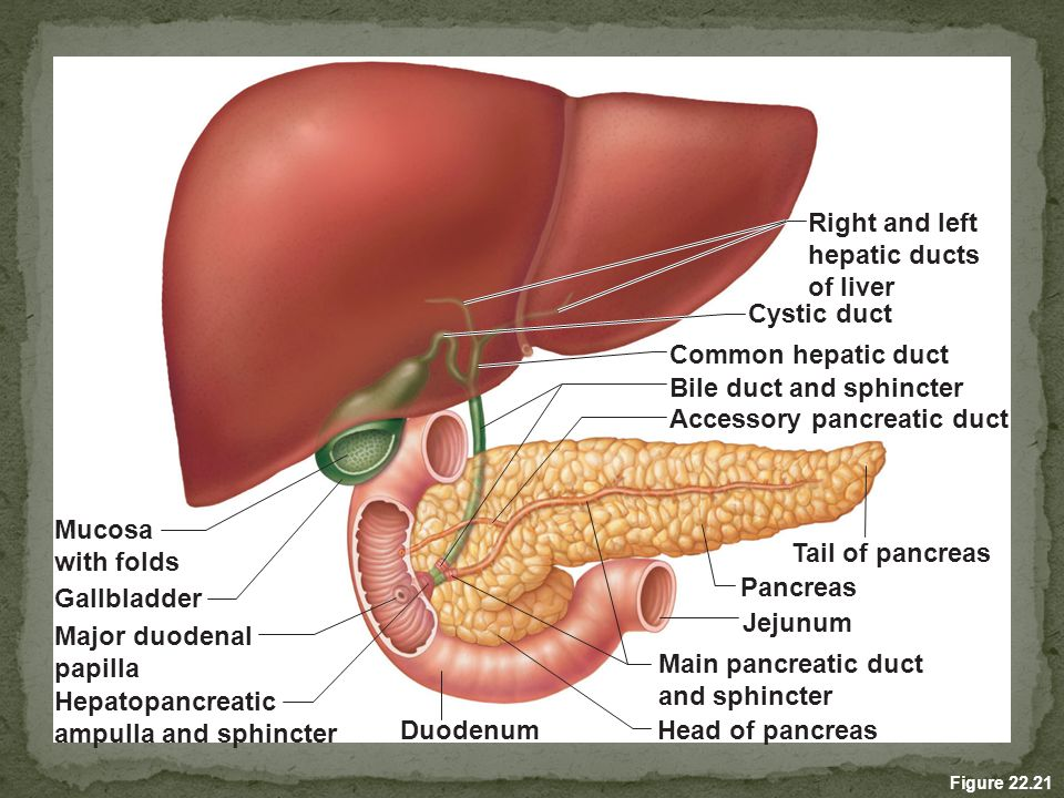 Lujo Anatomy And Physiology Of Liver And Gallbladder Imagen ...