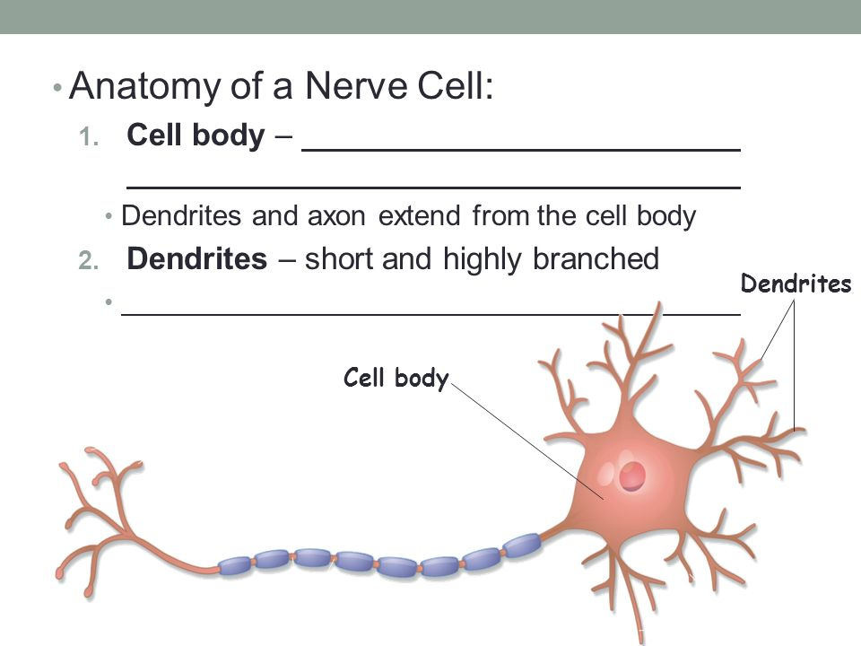 Nerve cell anatomy 6229140 - follow4more.info