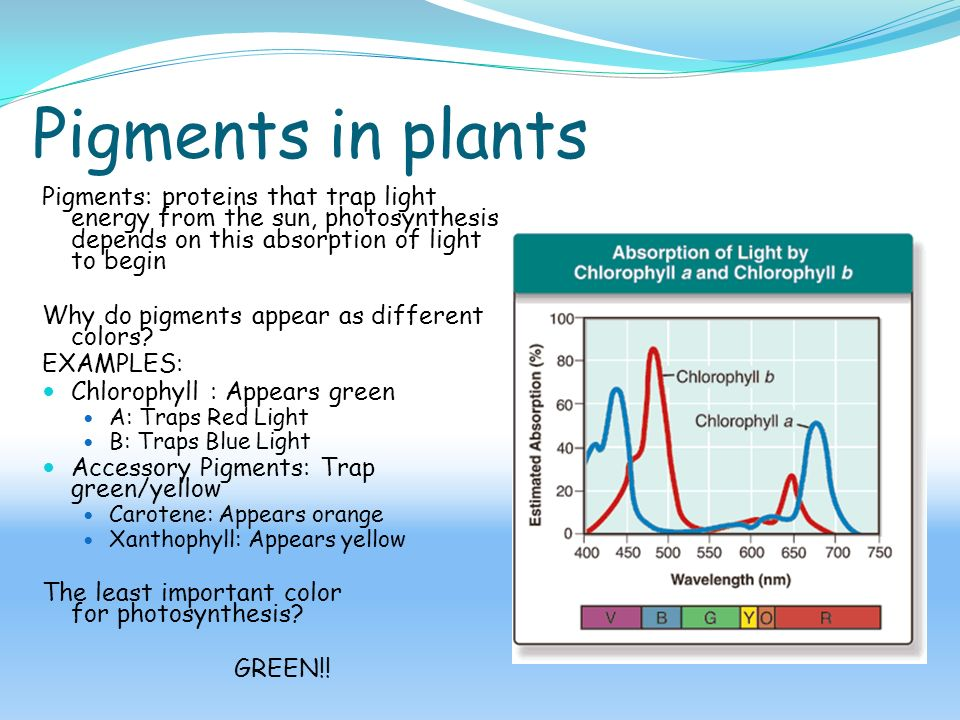 plant pigments and phtosynthesis Plant pigment chromatography photosynthesis, but accessory pigments collect and transfer energy to chlorophyll although pigments absorb light.