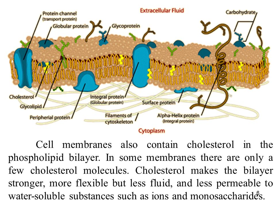 plan biological membrane transport across cell membranes
