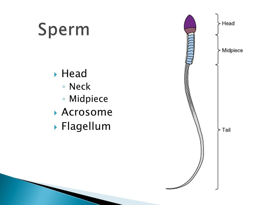 Acrosome reaction - Wikipedia