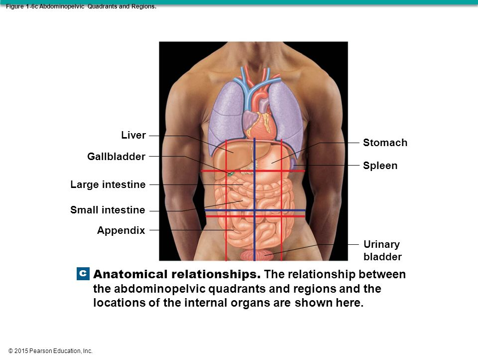 Chapter 1 anatomy physiology 1 ppt download figure 1 6c abdominopelvic quadrants and regions ccuart Images