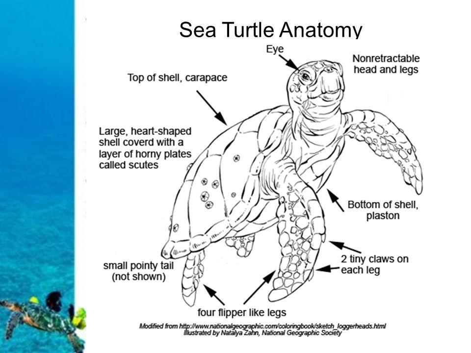 Turtle anatomy diagram