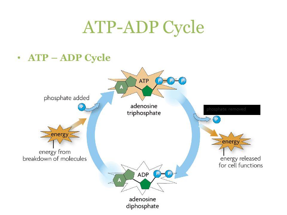 Atp Adp Cycle Diagram Bellacoola