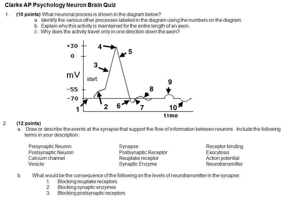 Clarke ap psychology neuron brain quiz ppt video online download clarke ap psychology neuron brain quiz ccuart Image collections