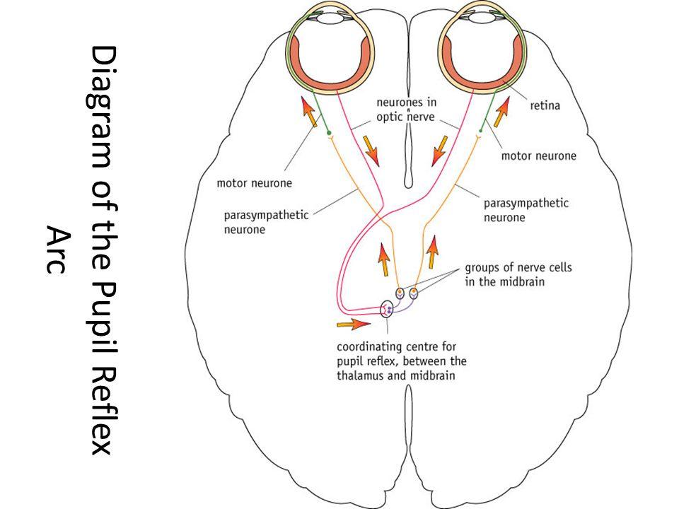 reflex physiology lab-7 dr  twana a  mustafa