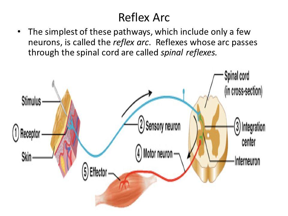 Reflex physiology lab 7 dr twana a mustafa ppt video online reflex arc ccuart Gallery