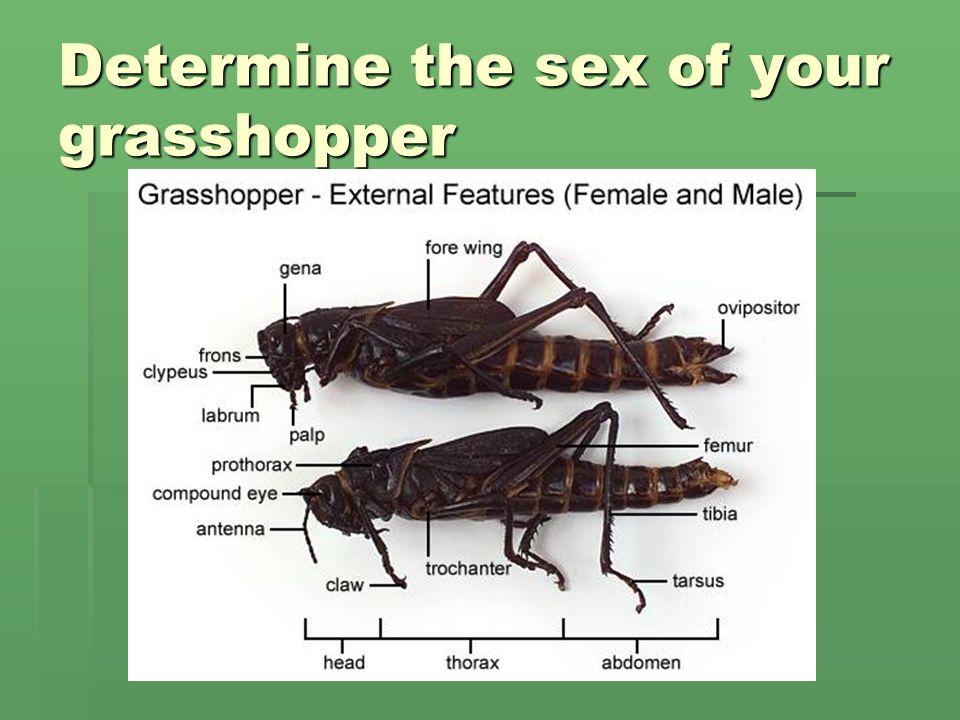 Grasshopper Abdomen 63662 | MOVIEWEB