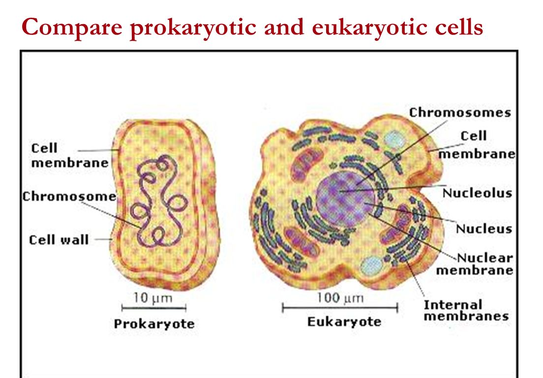 cell structures prokaryotic eukaryotic cells The sharp difference in complexity between prokaryotic and eukaryotic cells gave eukaryotic cell — the heaviest structures and smaller.