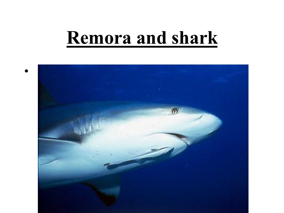 whale shark and remora relationship