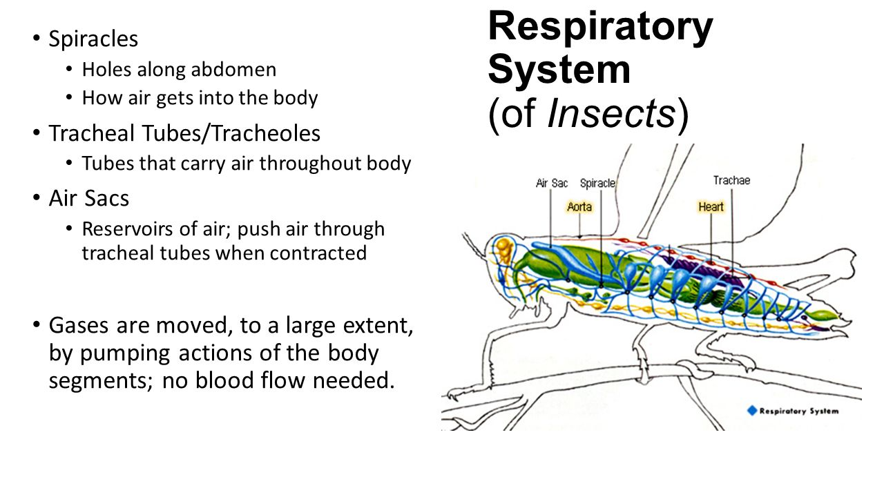 Comparative respiratory systems ppt video online download 5 respiratory system of insects ccuart Images