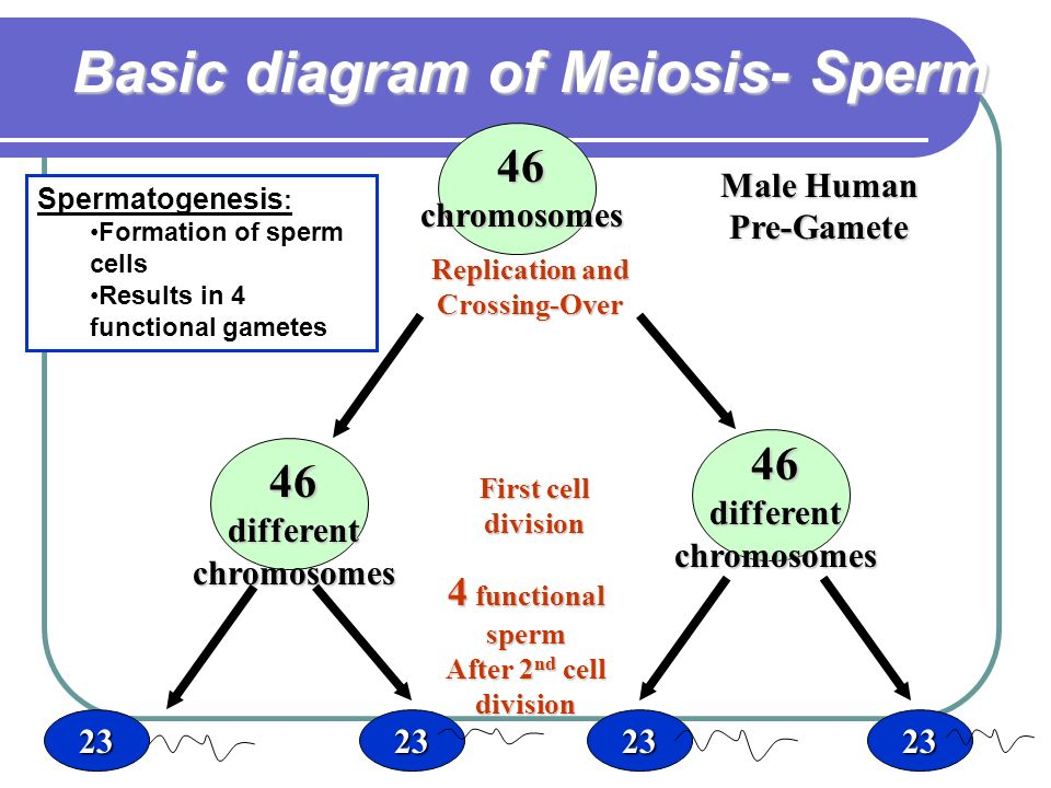 Sexual reproduction ppt video online download basic diagram of meiosis sperm ccuart Image collections