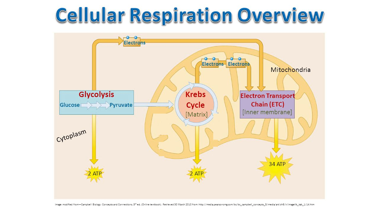 cell respiration Cellular respiration is a metabolic pathway that breaks down glucose and produces atp the stages of cellular respiration include glycolysis, pyruvate oxidation, the citric acid or krebs cycle, and oxidative phosphorylation.