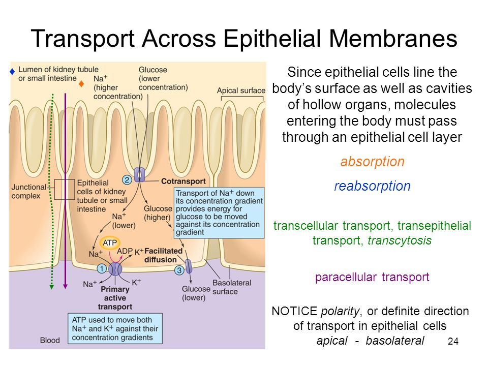 discussion for lab report biology transport across membrane Diffusion- osmosis lab report guidelines: report due monday associated with transport across cell membranes about membrane pore size in your discussion.