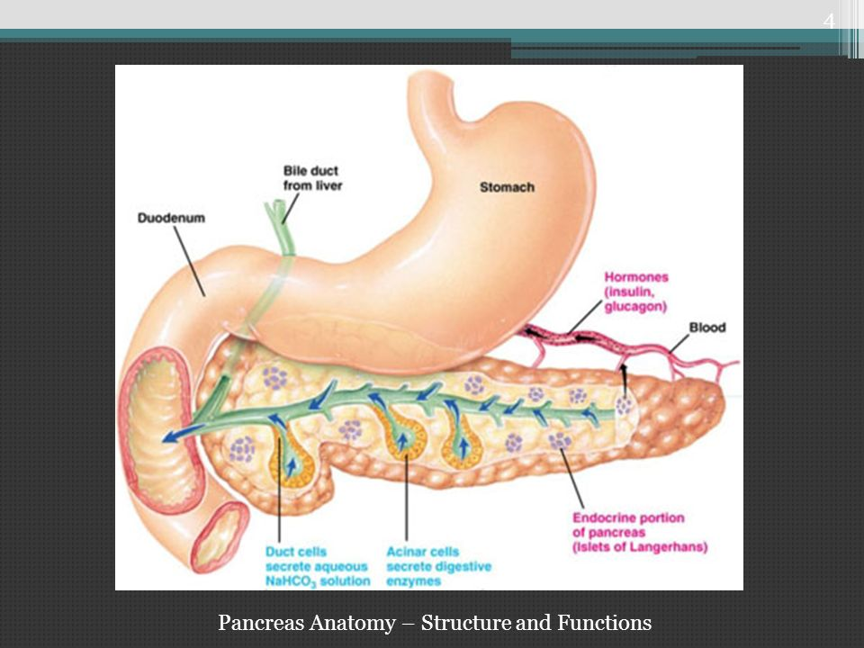 anatomy structure of the pancreas Anatomy of pancreas - anatomy of pancreas yuniarti anatomy department faculty of medicine unisba location of pancreas : pancreas is an elongated.