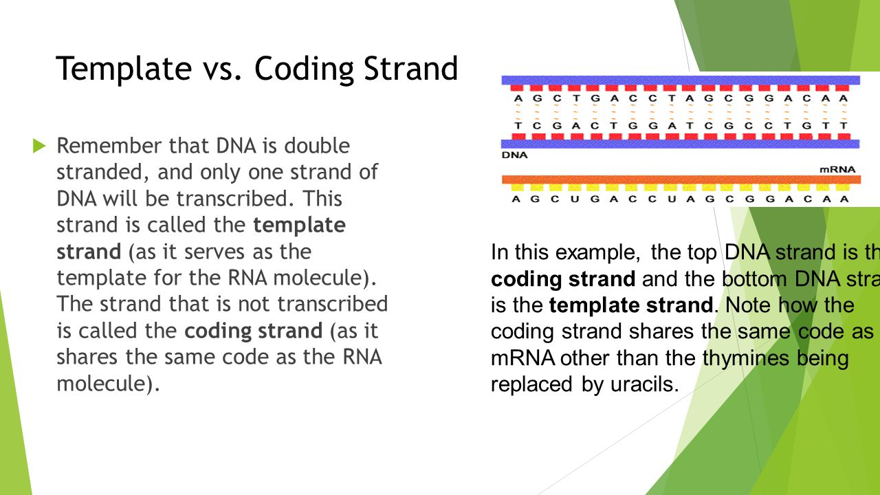 Lesson 3 gene expression ppt video online download for What is a template strand