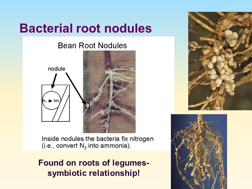 symbiotic relationship between bacteria and legumes