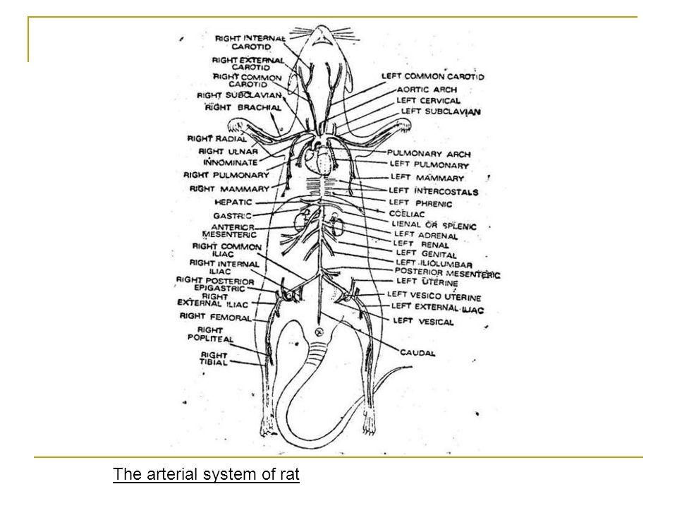 Mouse Vascular Anatomy