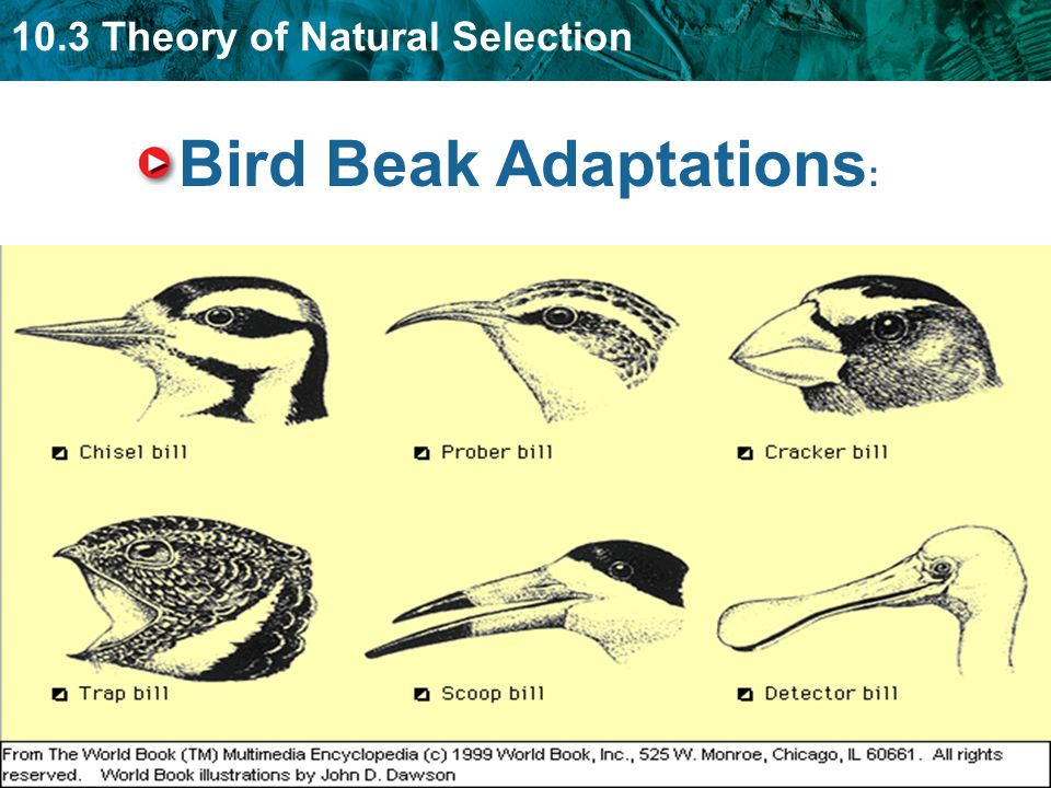 natural selection and beak depths Initial beak depths beak depths after 5 years (predicted)  adaptation, beak depth, directional selection, drought, evolution, natural selection, range, stabilizing.