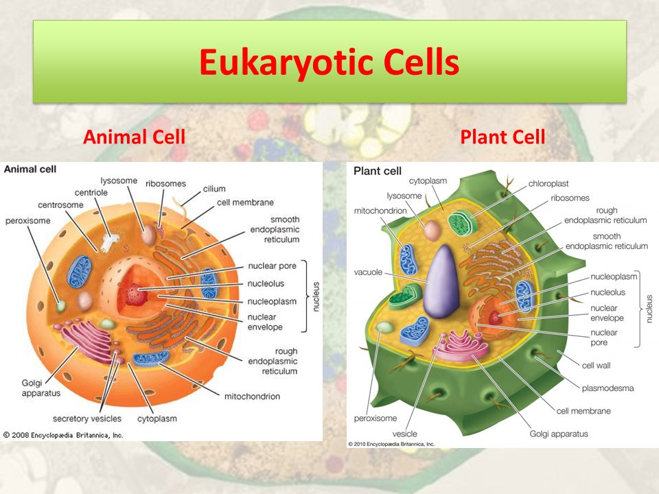 introduction to cells ppt video online download