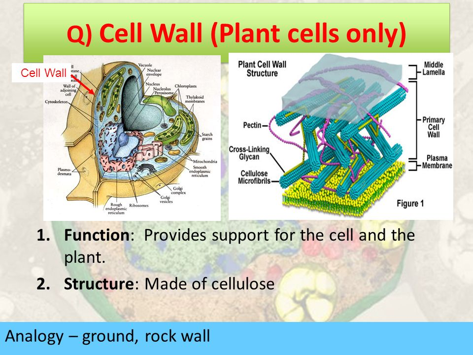 an introduction to the basic function of the cell wall Functions of cells or functions of cell parts cell structure location description function of cell cell wall plant  introduction studies on the evolution of .