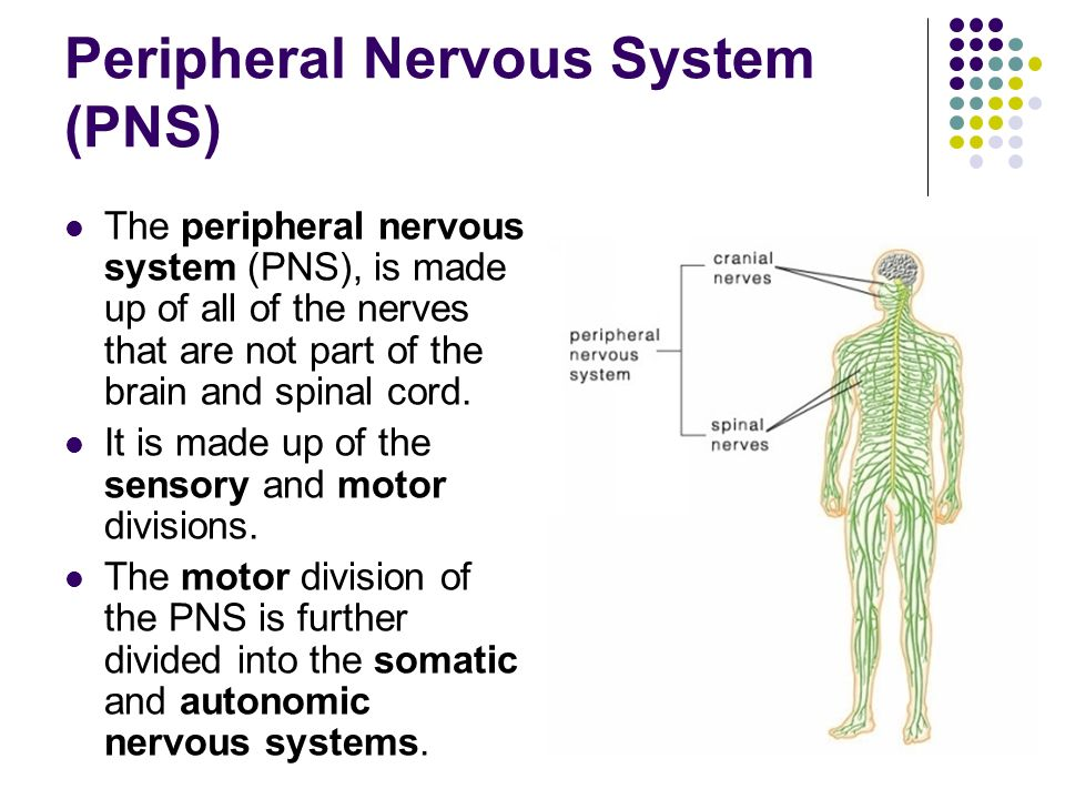 Motor Division Of The Peripheral Nervous System ... | 960 x 720 jpeg 91kB