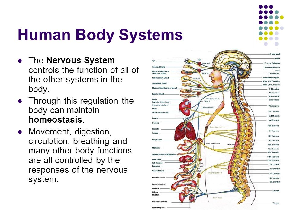 how the nervous system maintain homeostasis Figure 1 maintaining homeostasis across activities a healthy nervous system maintains homeostasis by balancing input from both branches of the ans during activites ranging from relaxing, digesting and sleeping, to waking, feeling excited, and.
