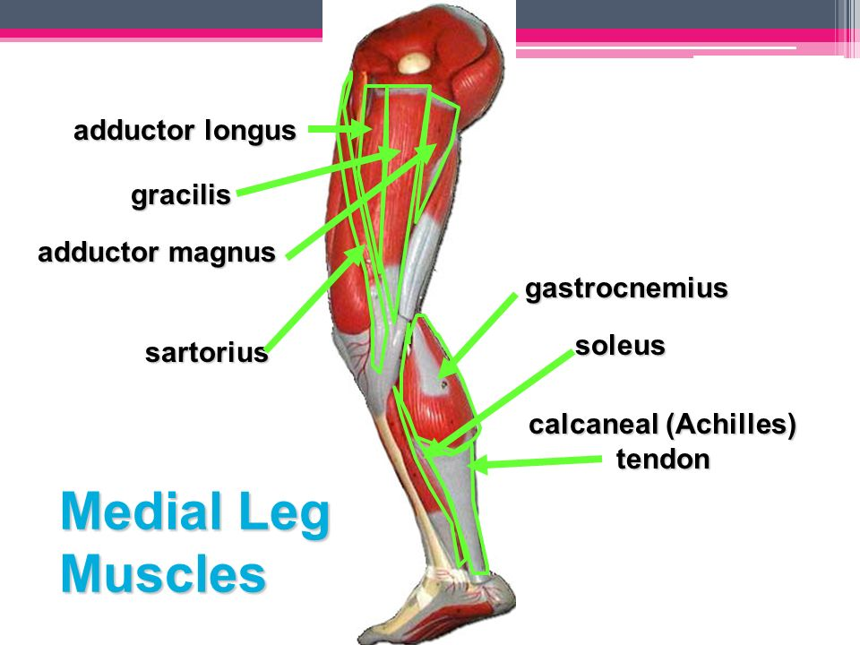 Awesome Gracilis Tendon Images - Anatomy And Physiology Biology ...