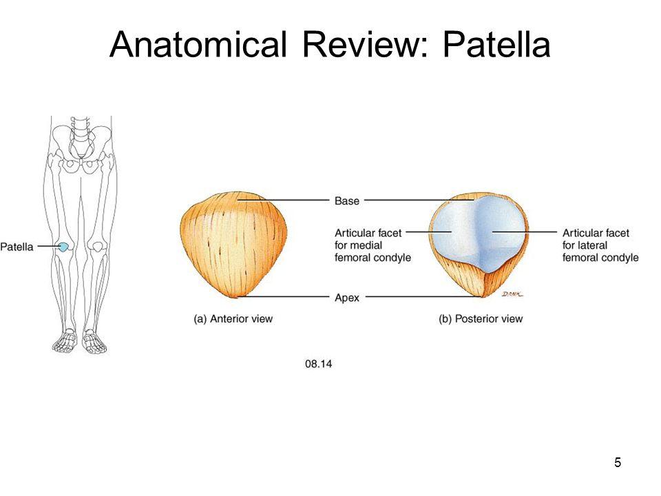 Fein Patella Anatomie Diagramm Fotos - Menschliche Anatomie Bilder ...