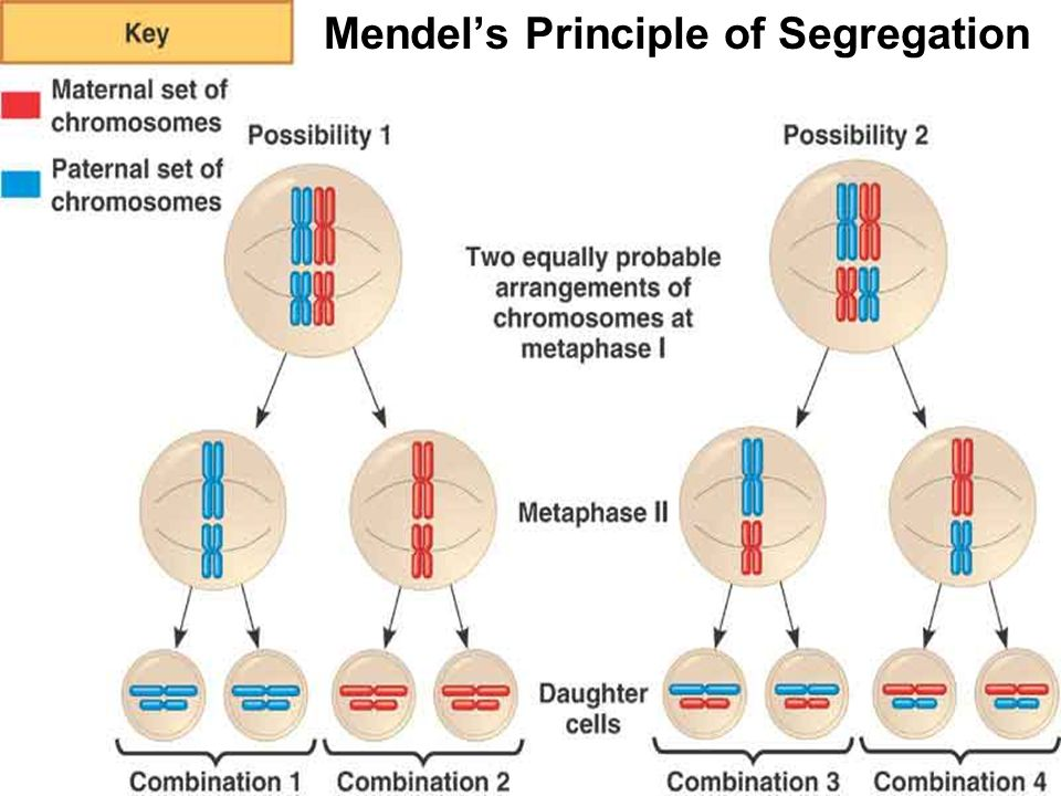 mendels genetic laws principles Two principles of heredity were formulated by gregor mendel in 1866, based on his observations of the characteristics of pea plants from one generation to the next the principles were somewhat modified by subsequent genetic research.