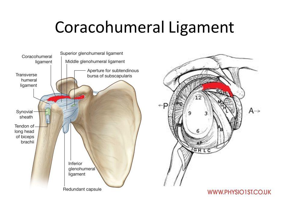 Labrum Shoulder Anatomy