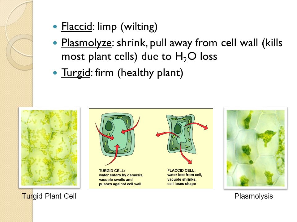plasmolysis lab osmotic potential of cell sap of plant ep Or nacl (ie, an osmotic shock that does not cause plasmolysis)  roots as affected by changes in water potential plant physiol  plant cell 14:s165.