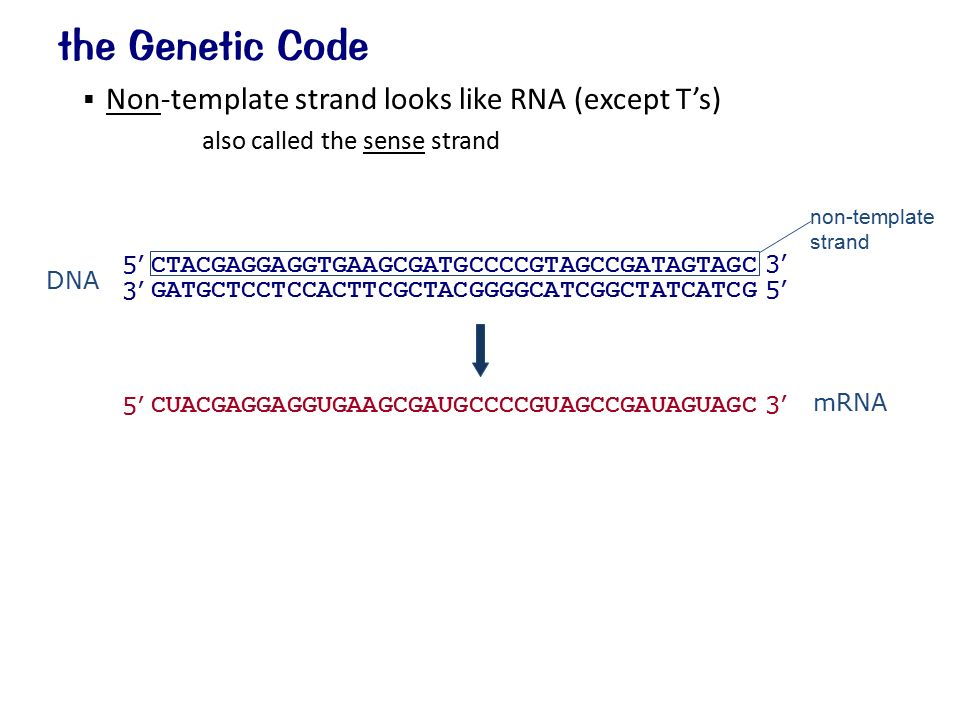 what is the template strand - the genetic code shown as mrna 5 3 64 codons redundant