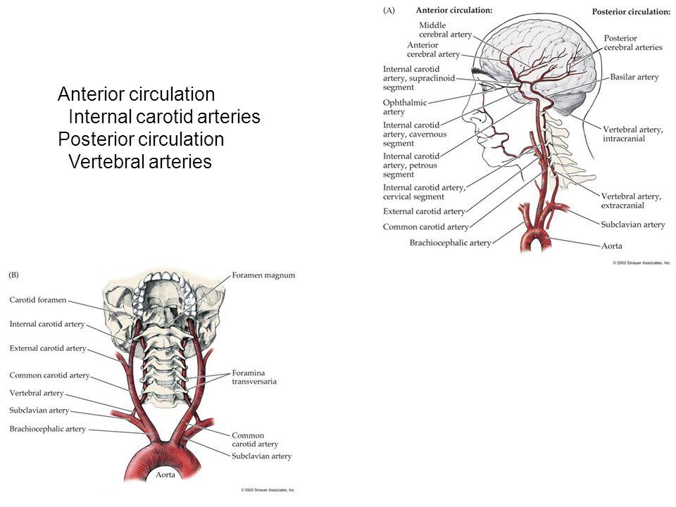 Internal Carotid Anatomy Choice Image - human body anatomy