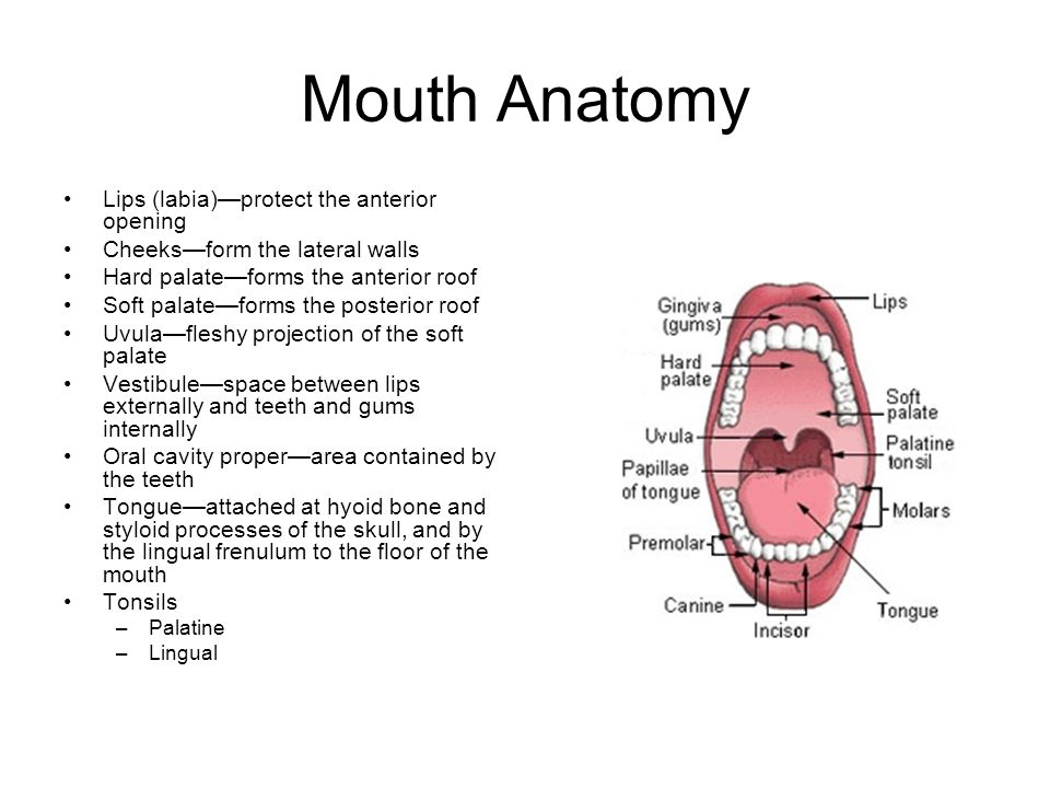 Famous Roof Mouth Anatomy Pictures - Anatomy And Physiology Biology ...