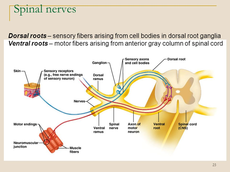 The Peripheral Nervous System - ppt video online download