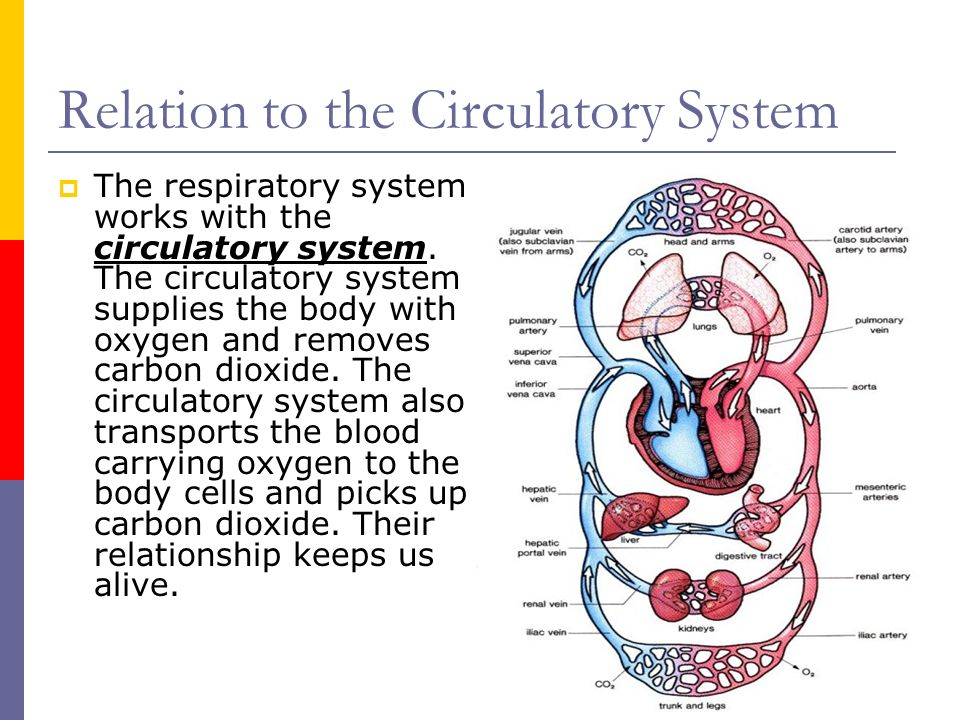 cardiovascular and respiratory system relationship
