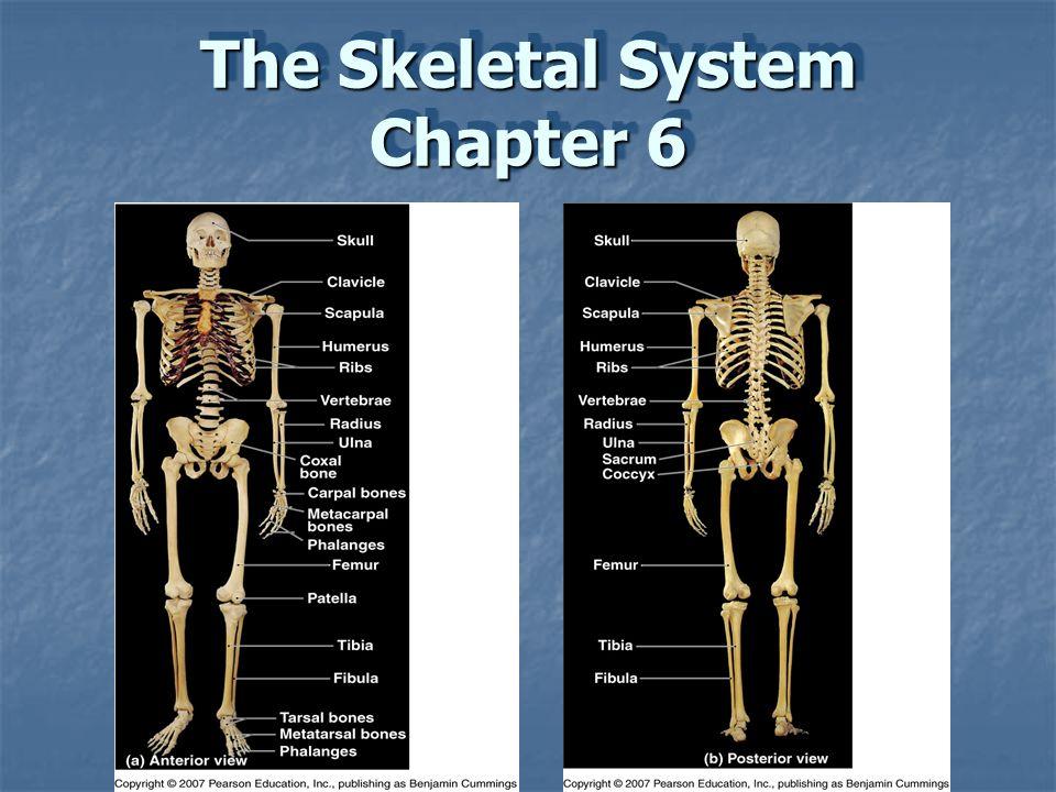Ziemlich Anatomie Und Physiologie Kapitel 6 Test Antworten Ideen ...