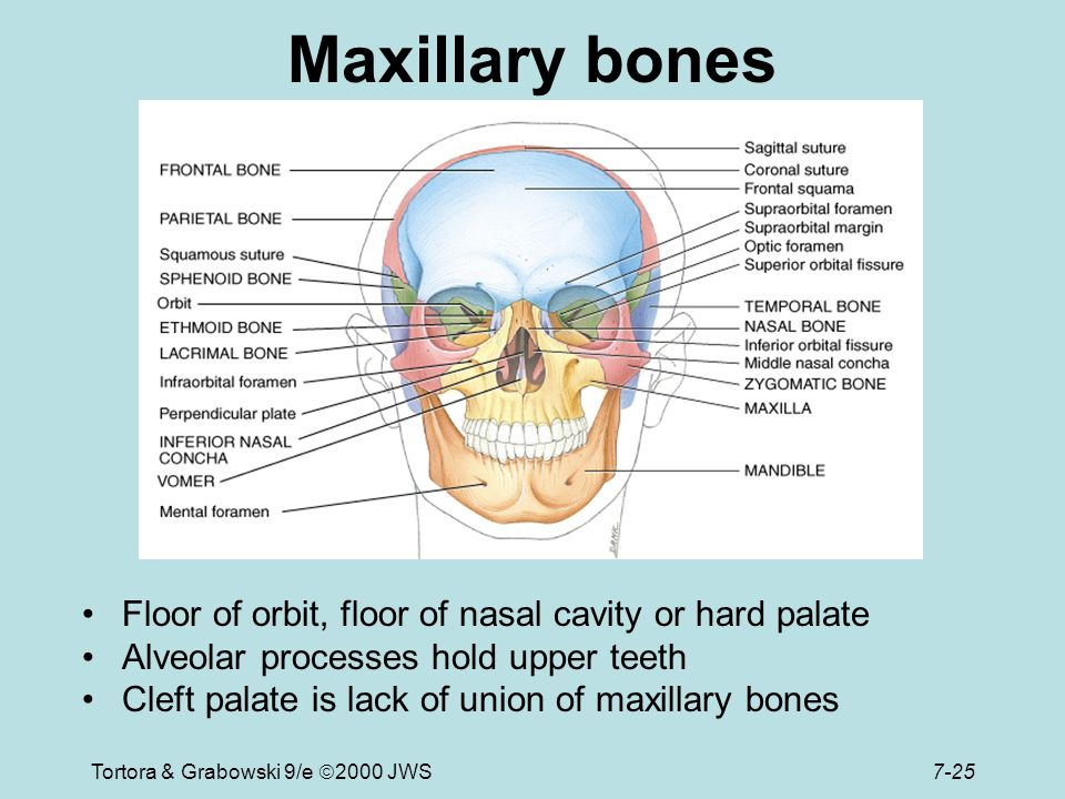 Skeletal system ppt video online download for Floor of nasal cavity
