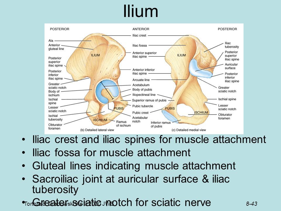 Iliac Crest Muscle Attachments