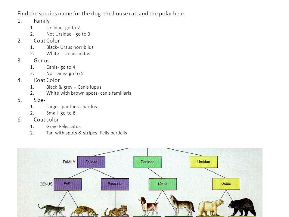 Big Cats Classification Key