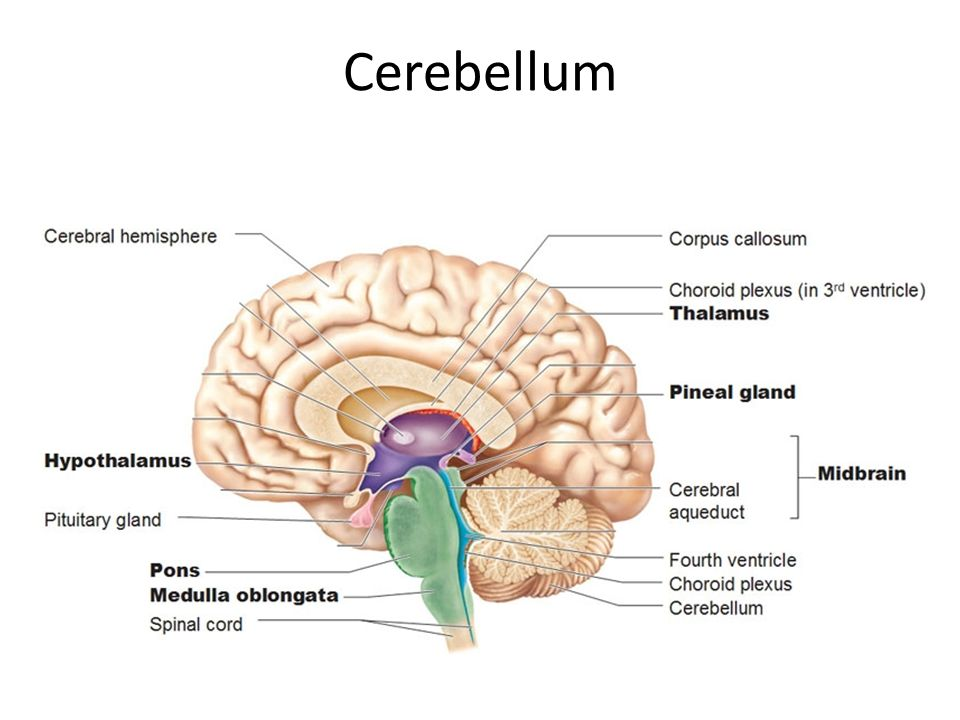 Cerebellum Dr. Safaa. Cerebellum Dr. Safaa Objectives Identify the ...