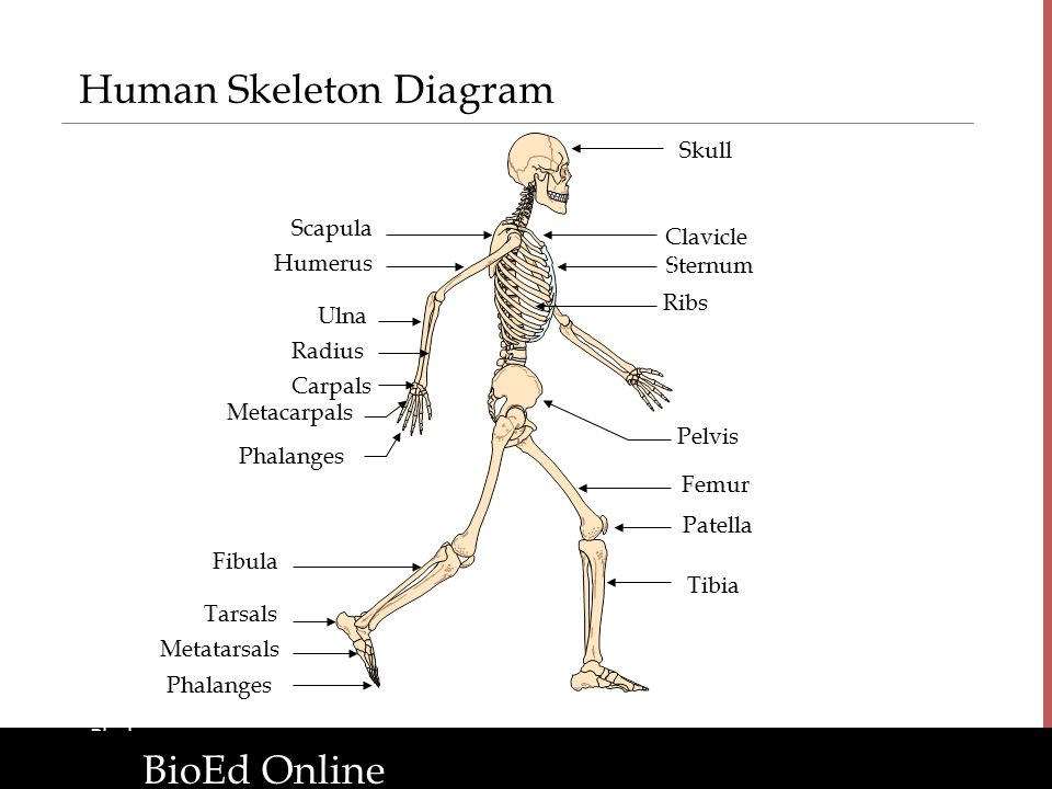 the human organism introduction to human body systems ppt download. Black Bedroom Furniture Sets. Home Design Ideas