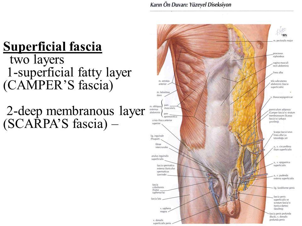 Großzügig Fascia Definition Anatomy Bilder - Menschliche Anatomie ...