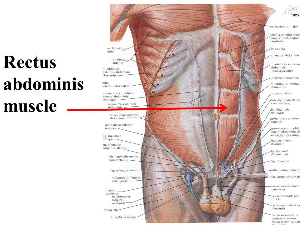 Erfreut M. Rectus Abdominis Fotos - Menschliche Anatomie Bilder ...