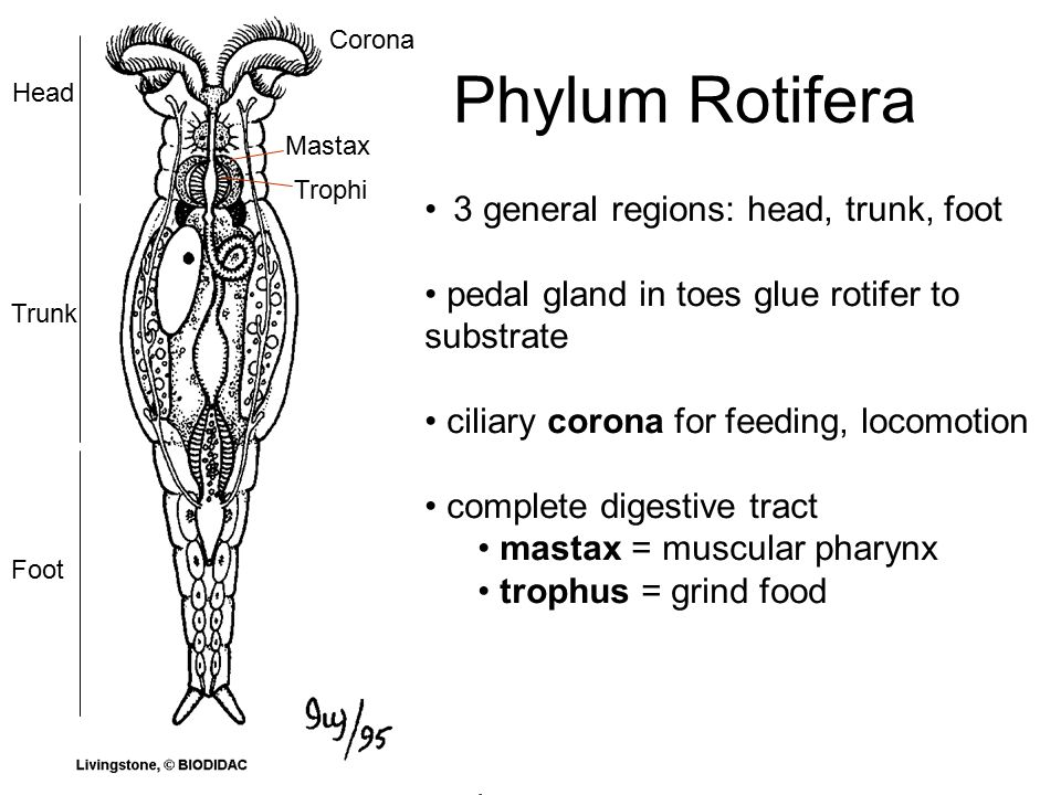 Phylum Rotifera Ppt Video Online Download