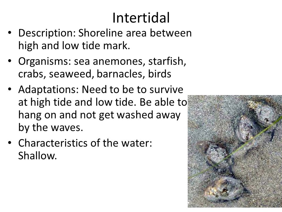 Intertidal Description: Shoreline area between high and low tide mark.