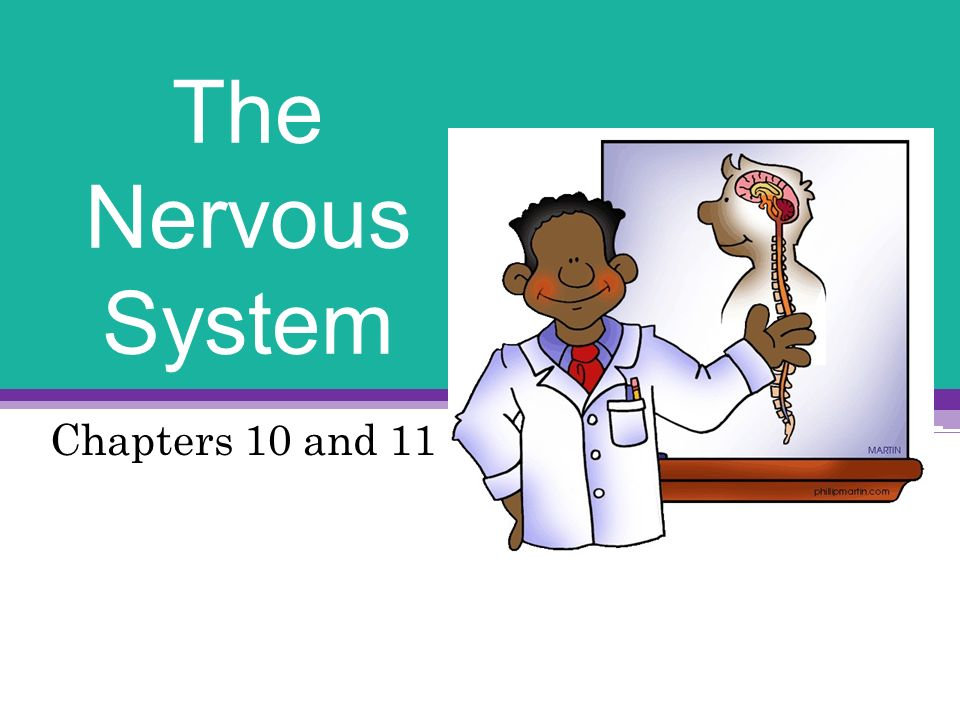 chapter 10 the nervous system Central nervous system: brain and spinal cord peripheral nervous system afferent peripheral system sensory neurons efferent peripheral system somatic autonomic - sympathetic and parasympathetic organization (cont'd.